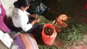 Colombia Gold: Fair Trade Cannabis | Part 3 | Cannabis News Network