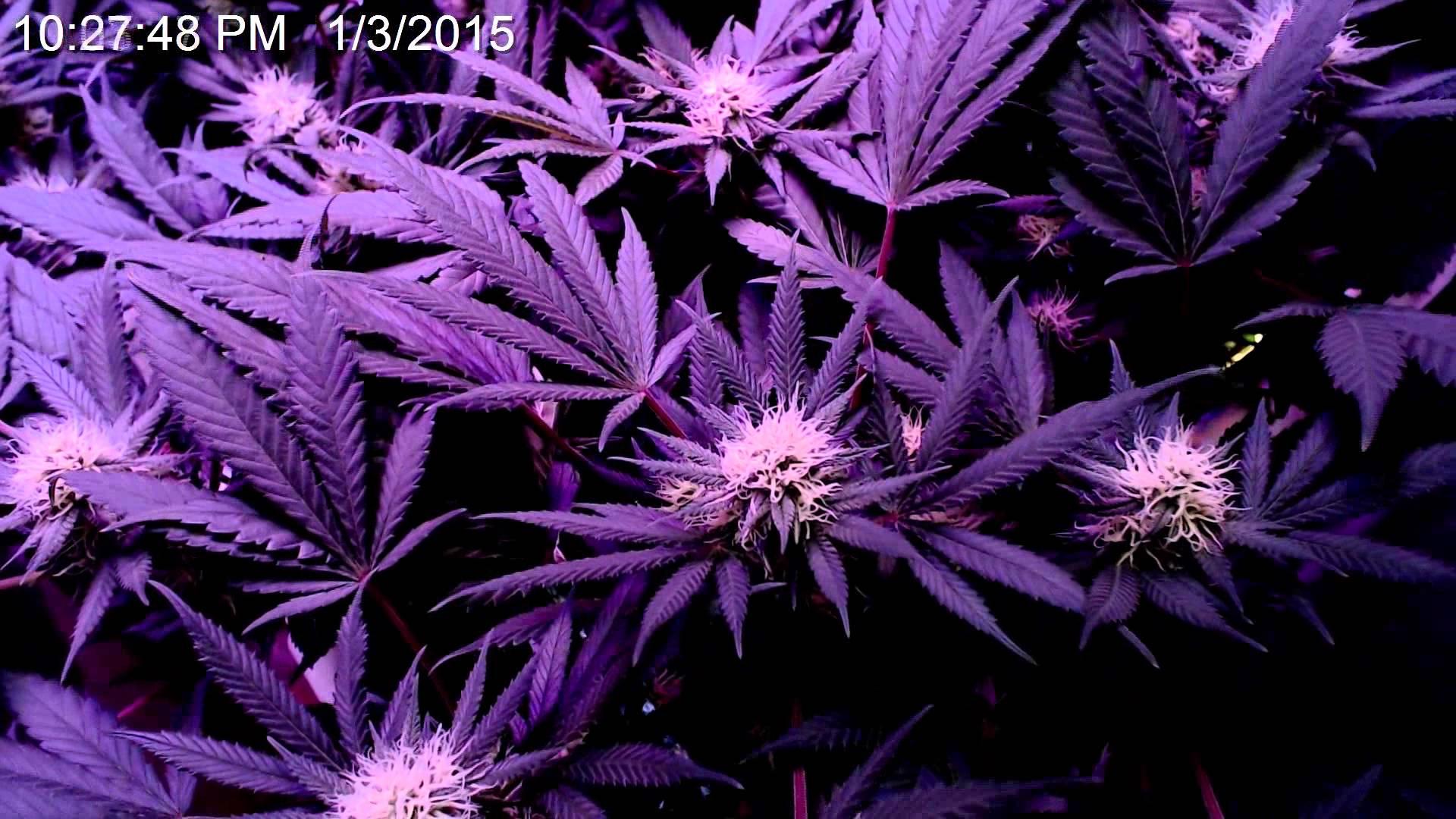 marijuana timelapse closeup of flower forming 60 days cannabis